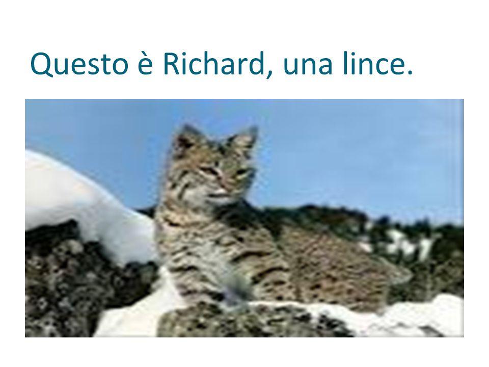 Questo è Richard, una lince.