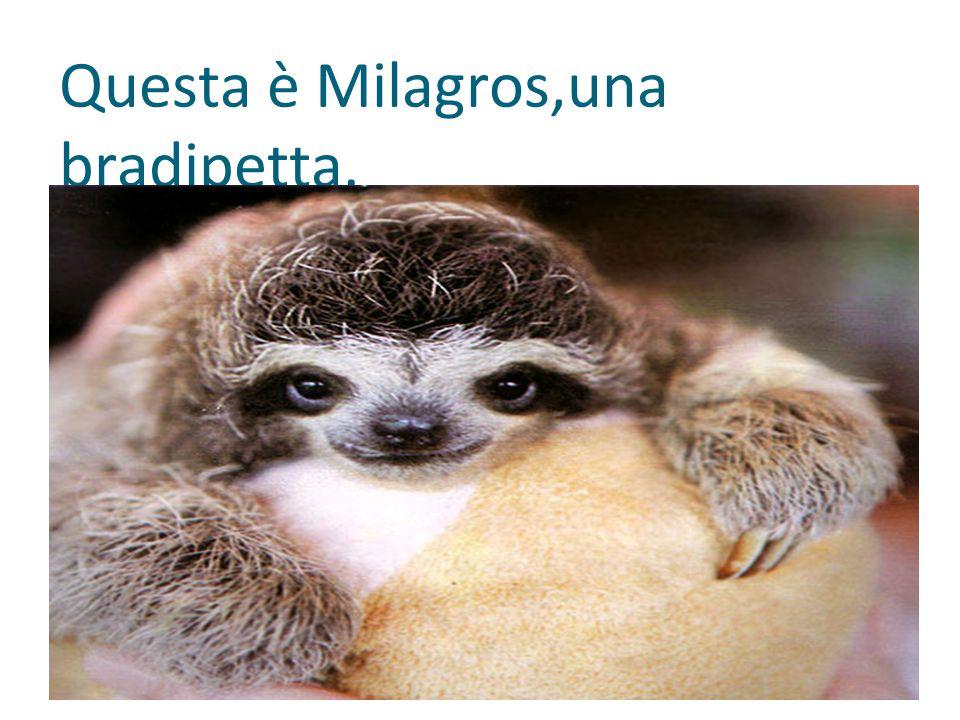 Questa è Milagros,una bradipetta.