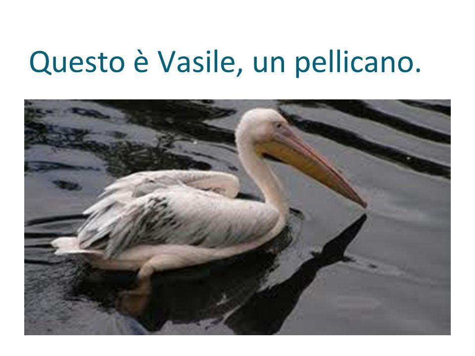 Questo è Vasile, un pellicano.