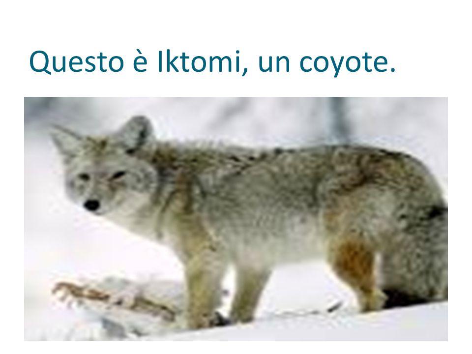 Questo è Iktomi, un coyote.