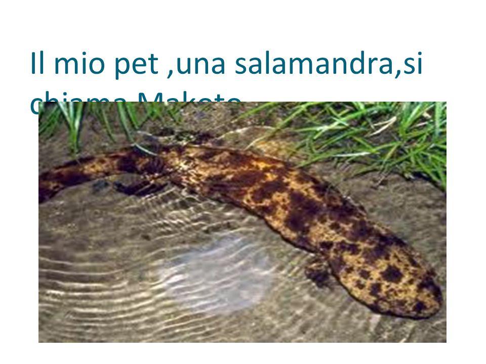 Il mio pet,una salamandra,si chiama Makoto.