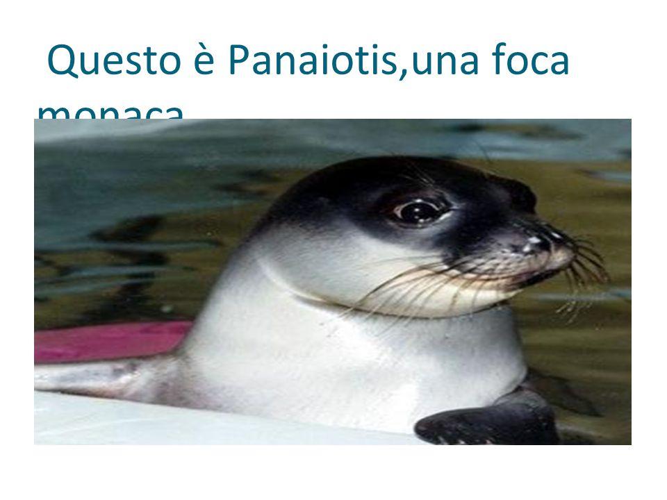 Questo è Panaiotis,una foca monaca.