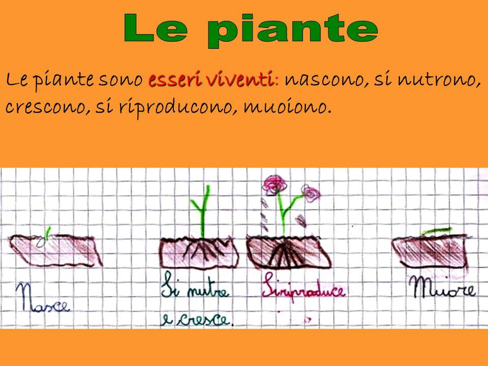 esseri viventi Le piante sono esseri viventi: nascono, si nutrono, crescono, si riproducono, muoiono.
