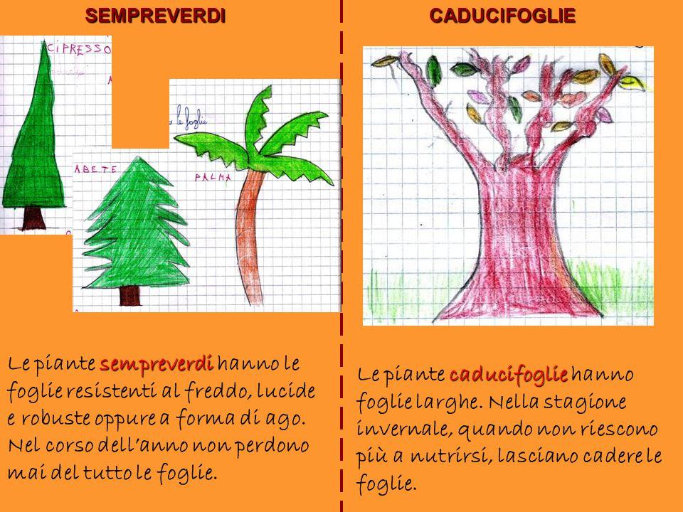 SEMPREVERDICADUCIFOGLIE sempreverdi Le piante sempreverdi hanno le foglie resistenti al freddo, lucide e robuste oppure a forma di ago. Nel corso dell