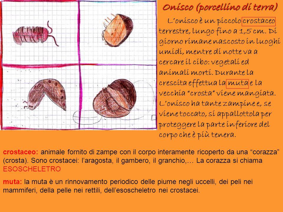 Onisco (porcellino di terra) L'onisco è un piccolo crostaceo terrestre, lungo fino a 1,5 cm. Di giorno rimane nascosto in luoghi umidi, mentre di nott