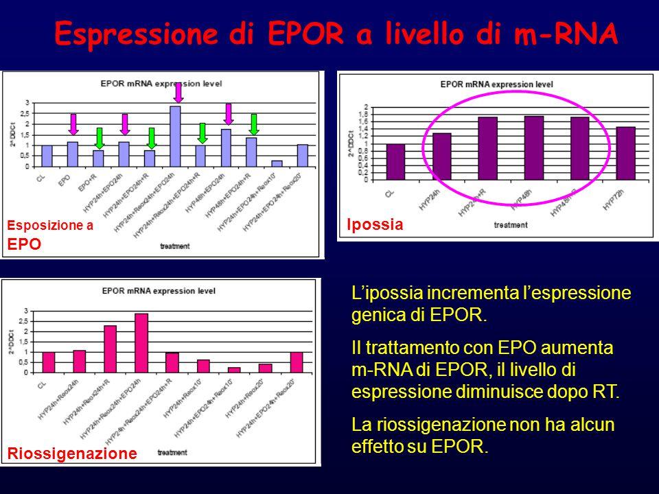 Espressione di EPOR a livello di m-RNA L'ipossia incrementa l'espressione genica di EPOR.