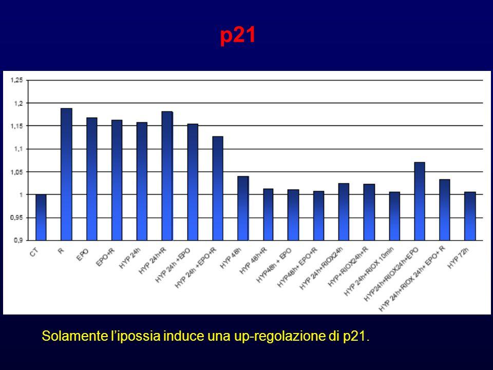 p21 Solamente l'ipossia induce una up-regolazione di p21.