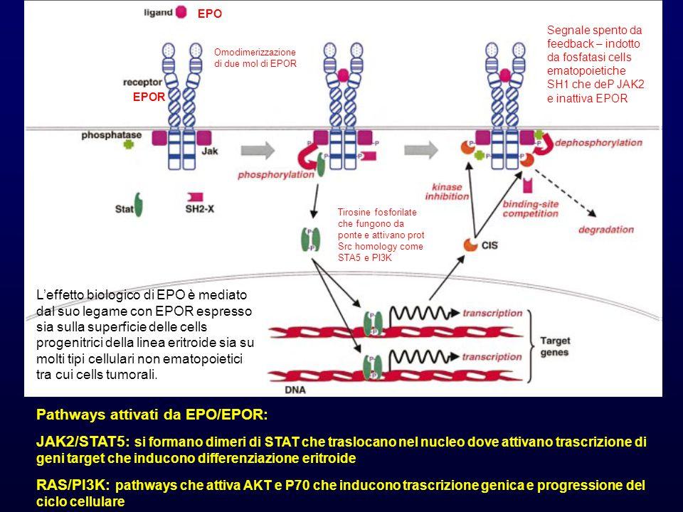 EPO EPOR Omodimerizzazione di due mol di EPOR Tirosine fosforilate che fungono da ponte e attivano prot Src homology come STA5 e PI3K Pathways attivati da EPO/EPOR: JAK2/STAT5: si formano dimeri di STAT che traslocano nel nucleo dove attivano trascrizione di geni target che inducono differenziazione eritroide RAS/PI3K: pathways che attiva AKT e P70 che inducono trascrizione genica e progressione del ciclo cellulare Segnale spento da feedback – indotto da fosfatasi cells ematopoietiche SH1 che deP JAK2 e inattiva EPOR L'effetto biologico di EPO è mediato dal suo legame con EPOR espresso sia sulla superficie delle cells progenitrici della linea eritroide sia su molti tipi cellulari non ematopoietici tra cui cells tumorali.