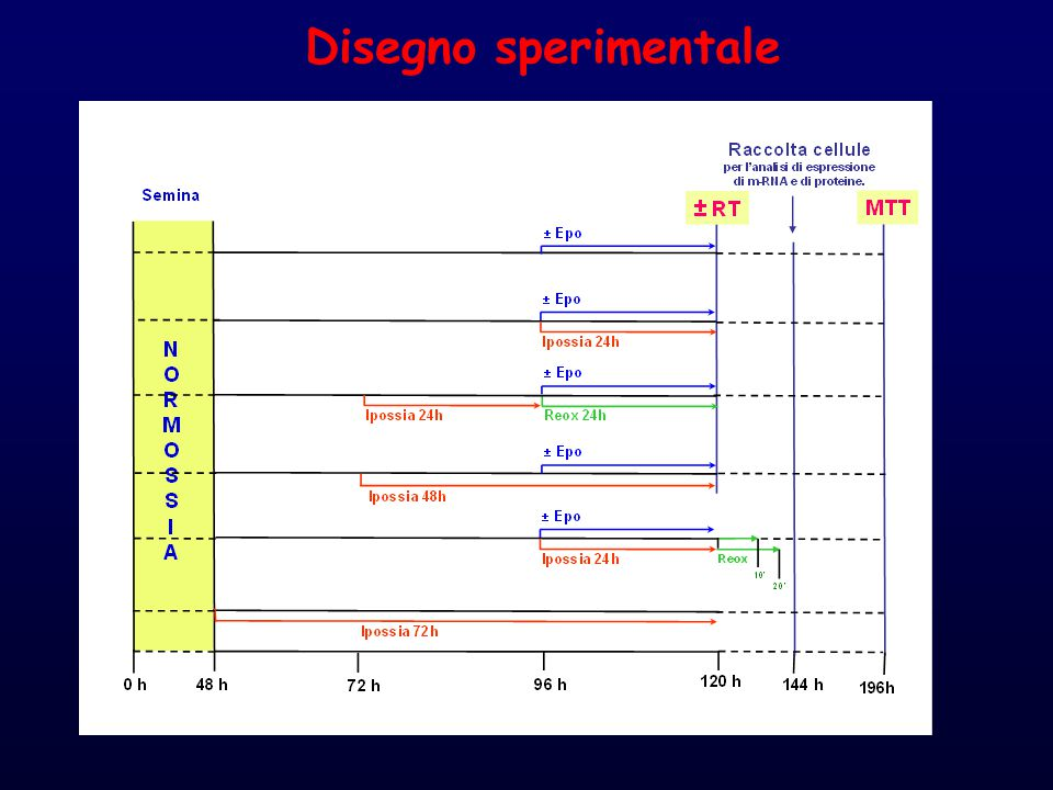 % SF= Percentage of survival fraction Analisi di citotossicità controllo epo Ipossia 24h Ipossia 24h + epo Ipossia 24h + reox 24h Ipossia 24h + reox 24h + epo ipossia 48h ipossia 48h + epo 0 50 100 no radio radio % SF
