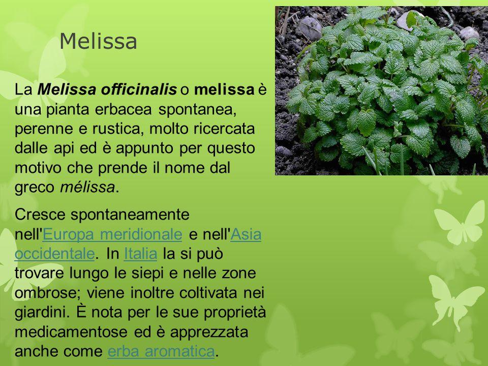 Melissa La Melissa officinalis o melissa è una pianta erbacea spontanea, perenne e rustica, molto ricercata dalle api ed è appunto per questo motivo c