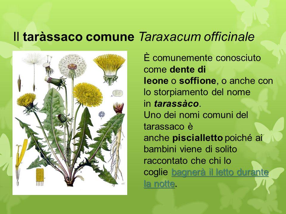 Il taràssaco comune Taraxacum officinale bagnerà il letto durante la notte. È comunemente conosciuto come dente di leone o soffione, o anche con lo st