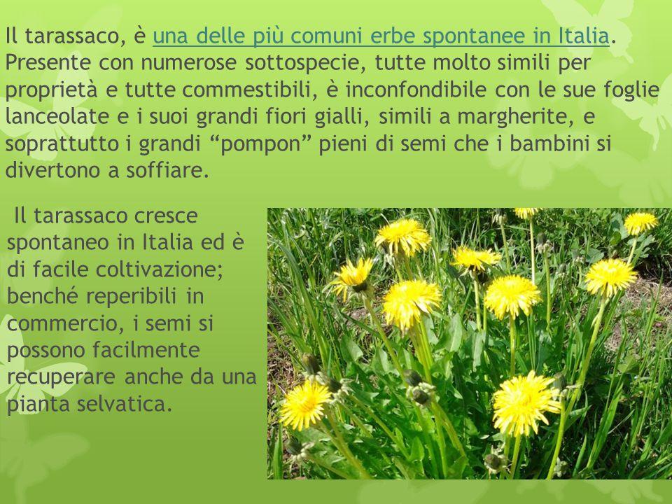 Il tarassaco, è una delle più comuni erbe spontanee in Italia. Presente con numerose sottospecie, tutte molto simili per proprietà e tutte commestibil