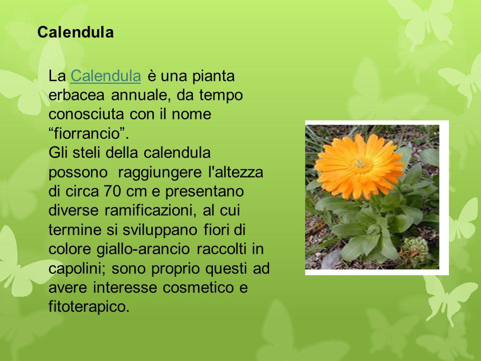 """Calendula La Calendula è una pianta erbacea annuale, da tempo conosciuta con il nome """"fiorrancio"""". Gli steli della calendula possono raggiungere l'alt"""