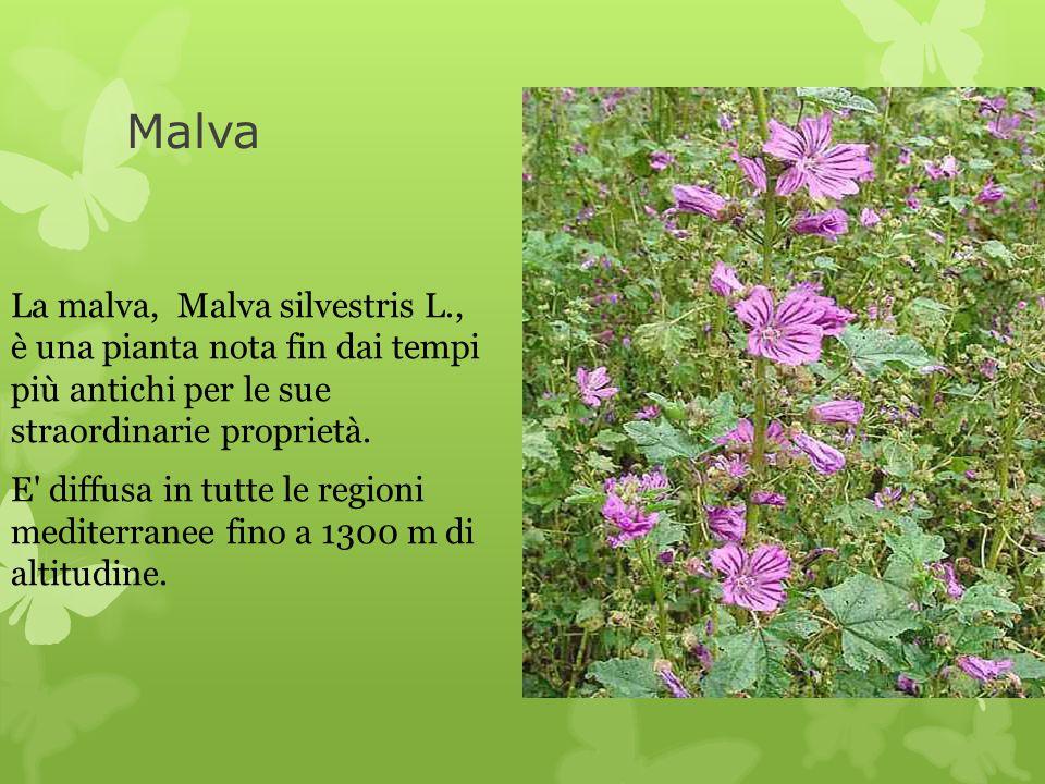 Malva La malva, Malva silvestris L., è una pianta nota fin dai tempi più antichi per le sue straordinarie proprietà. E' diffusa in tutte le regioni me