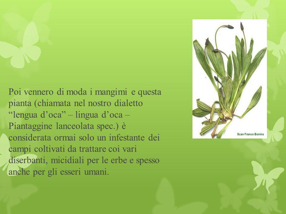 """Poi vennero di moda i mangimi e questa pianta (chiamata nel nostro dialetto """"lengua d'oca"""" – lingua d'oca – Piantaggine lanceolata spec.) è considerat"""