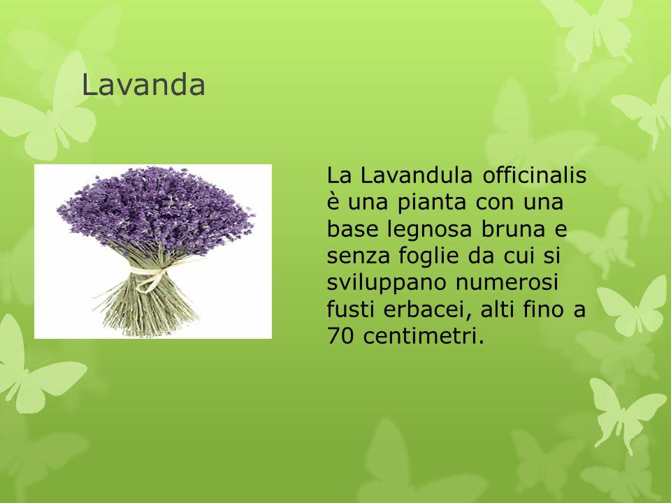 Lavanda La Lavandula officinalis è una pianta con una base legnosa bruna e senza foglie da cui si sviluppano numerosi fusti erbacei, alti fino a 70 ce