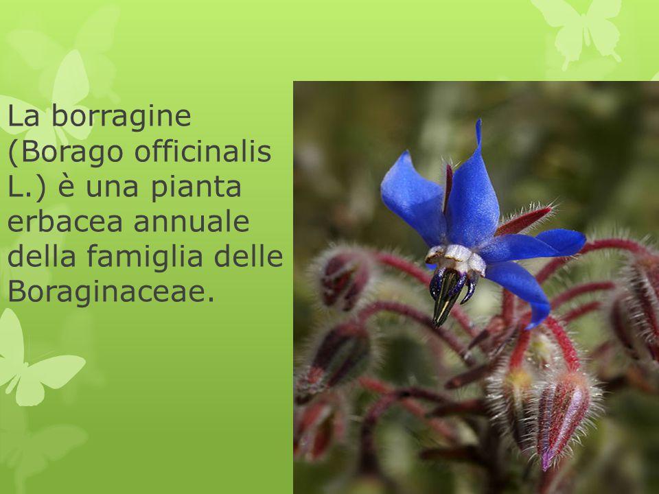 La borragine (Borago officinalis L.) è una pianta erbacea annuale della famiglia delle Boraginaceae.