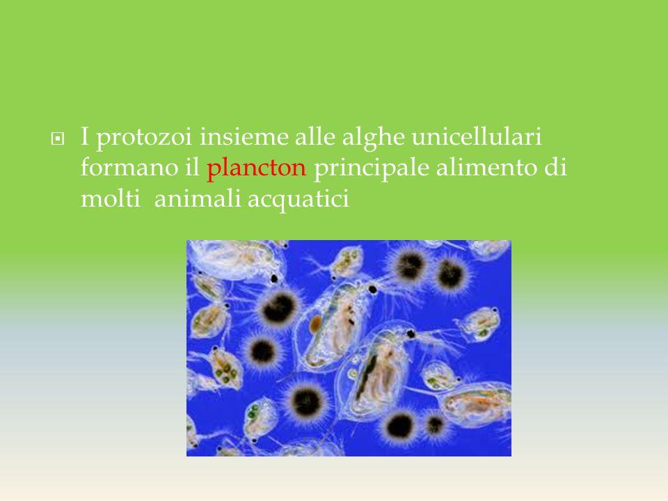  I protozoi insieme alle alghe unicellulari formano il plancton principale alimento di molti animali acquatici