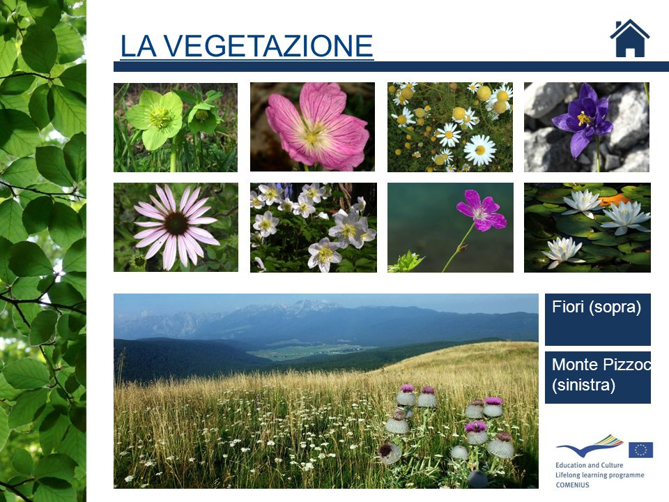 Geranium palustre LA VEGETAZIONE Fiori (sopra) Monte Pizzoc (sinistra)