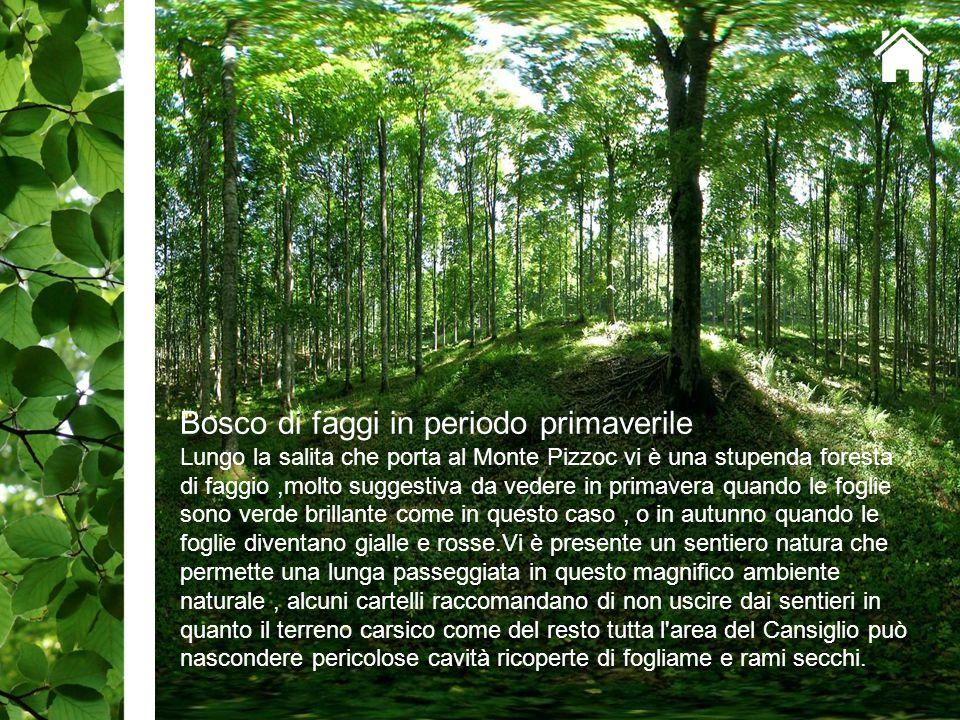 Bosco di faggi in periodo primaverile Lungo la salita che porta al Monte Pizzoc vi è una stupenda foresta di faggio,molto suggestiva da vedere in prim