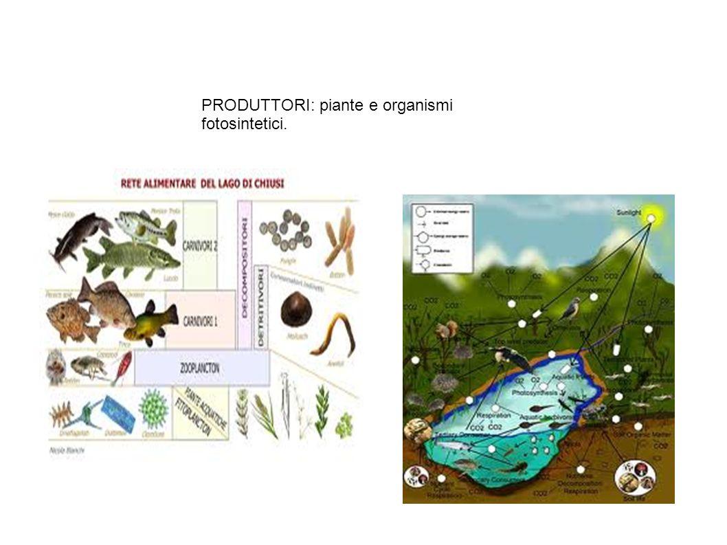 PRODUTTORI: piante e organismi fotosintetici.