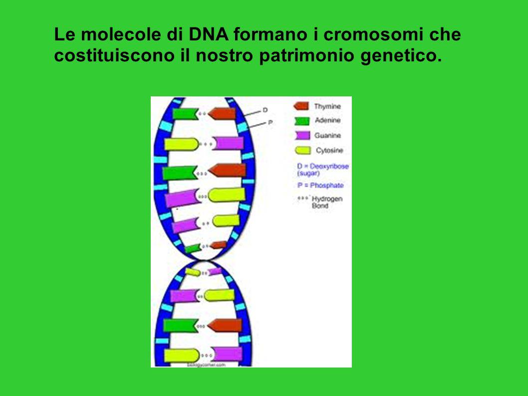 Molecola di DNA = lunga catena di nucleotidi Ogni nucleotide è costituito da 3 parti: - una molecola di acido fosforico - una molecola di desossiribosio (uno zucchero) - una delle seguenti 4 basi azotate: adenina, timina, citosina, guanina