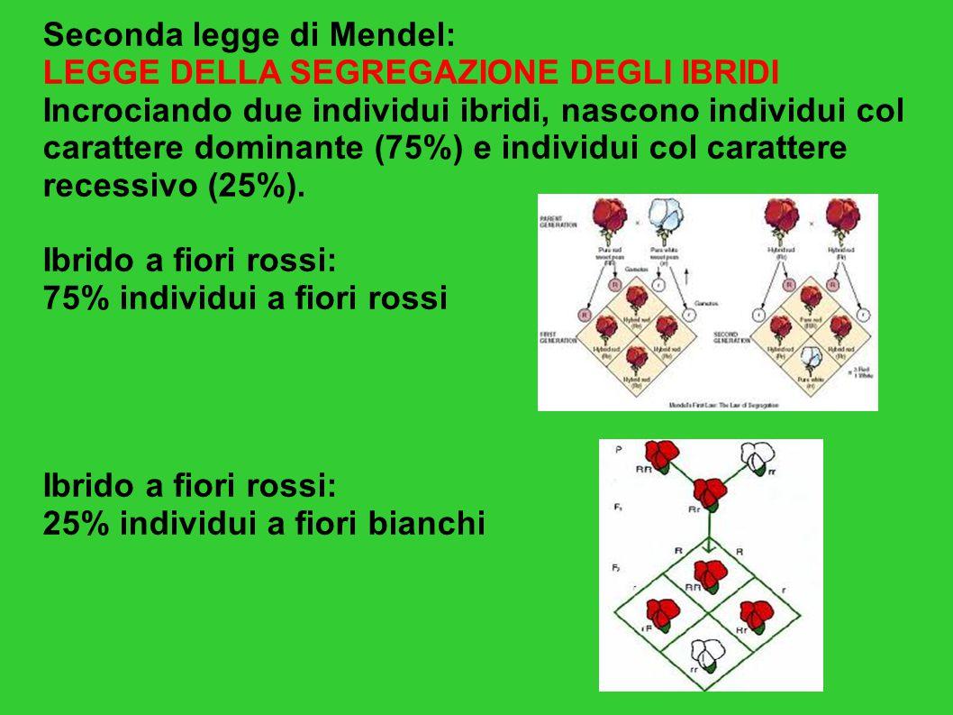 Seconda legge di Mendel: LEGGE DELLA SEGREGAZIONE DEGLI IBRIDI Incrociando due individui ibridi, nascono individui col carattere dominante (75%) e ind