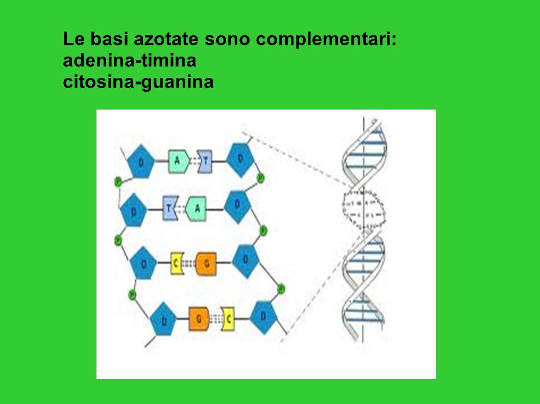 Il DNA contiene le informazioni per la sintesi delle proteine.