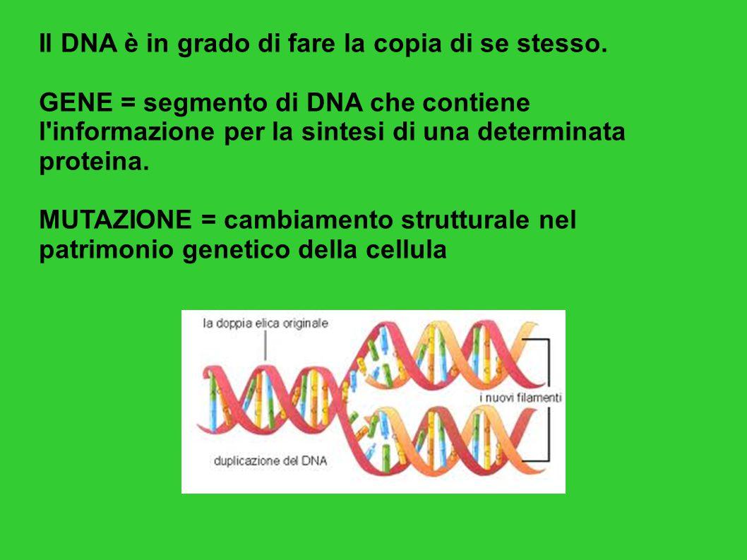 Il DNA è in grado di fare la copia di se stesso. GENE = segmento di DNA che contiene l'informazione per la sintesi di una determinata proteina. MUTAZI