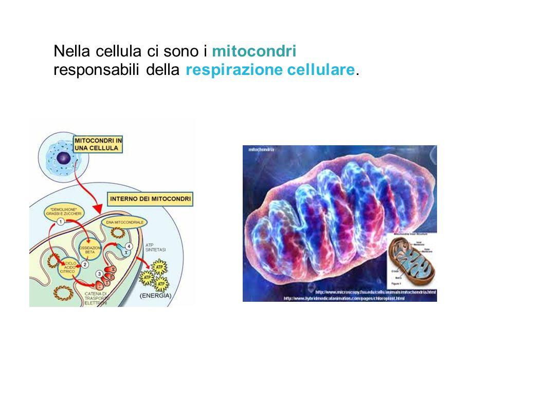 Nella cellula ci sono i mitocondri responsabili della respirazione cellulare.
