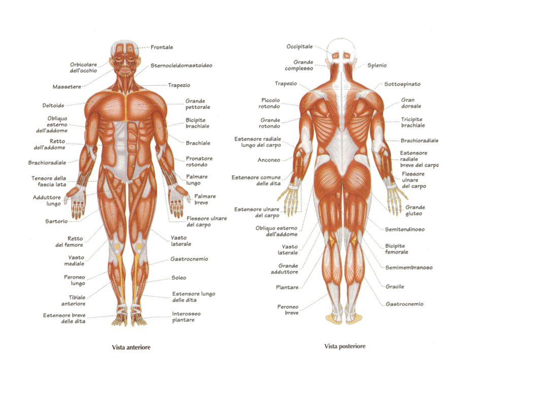 Sforzo muscolare: se l ossigeno è sufficiente: si consuma l ATP prodotta e utilizzabile se l ossigeno non è sufficiente: il glucosio viene trasformato in energia con la FERMENTAZIONE: si produce acido lattico che è sintomo della fatica muscolare e può portare i crampi