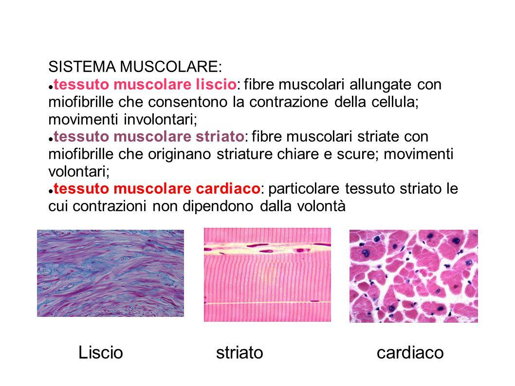SISTEMA MUSCOLARE: tessuto muscolare liscio: fibre muscolari allungate con miofibrille che consentono la contrazione della cellula; movimenti involontari; tessuto muscolare striato: fibre muscolari striate con miofibrille che originano striature chiare e scure; movimenti volontari; tessuto muscolare cardiaco: particolare tessuto striato le cui contrazioni non dipendono dalla volontà Lisciostriatocardiaco