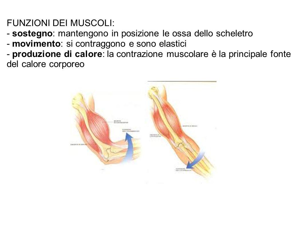 FUNZIONI DEI MUSCOLI: - sostegno: mantengono in posizione le ossa dello scheletro - movimento: si contraggono e sono elastici - produzione di calore: la contrazione muscolare è la principale fonte del calore corporeo