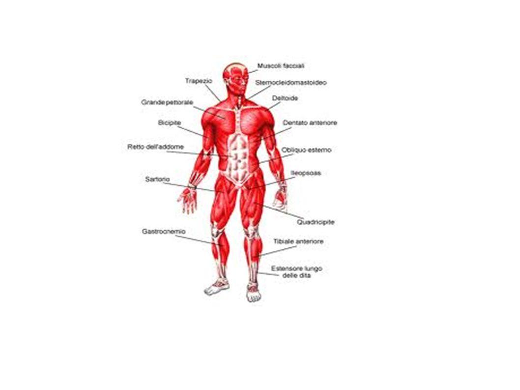 Contrazione muscolare apporto di energia GLUCOSIO trasportato dal sangue alimenti
