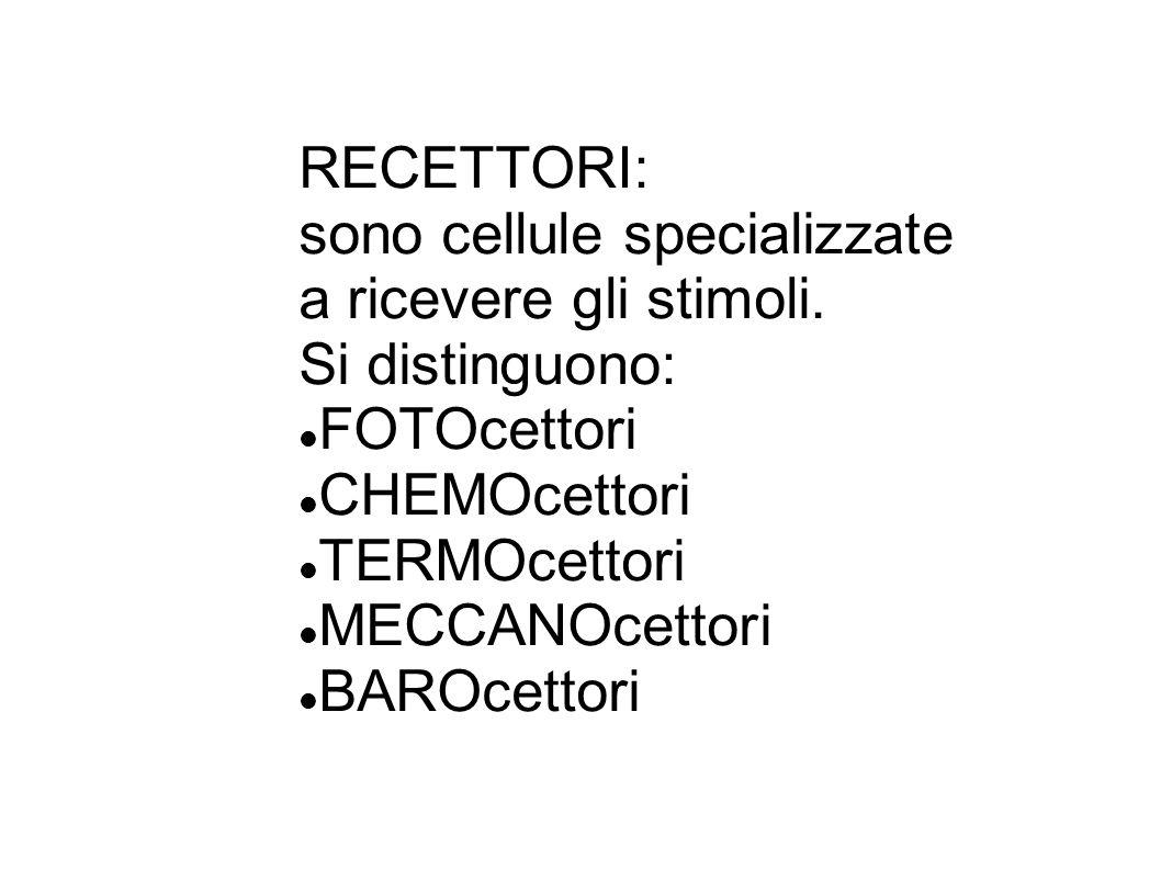 RECETTORI: sono cellule specializzate a ricevere gli stimoli. Si distinguono: FOTOcettori CHEMOcettori TERMOcettori MECCANOcettori BAROcettori