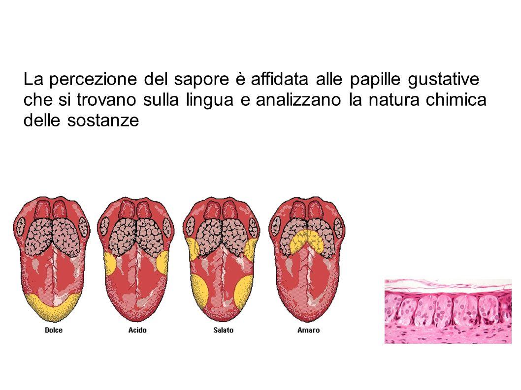 La percezione del sapore è affidata alle papille gustative che si trovano sulla lingua e analizzano la natura chimica delle sostanze
