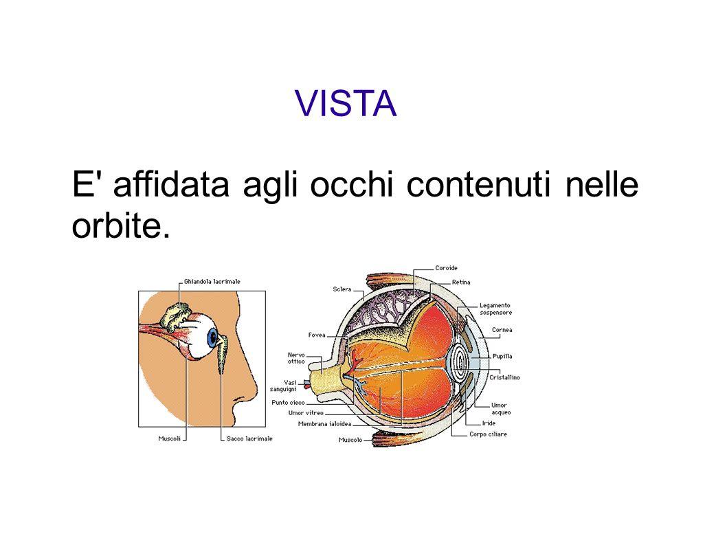 Ogni occhio comprende: ORGANI ACCESSORI: palpebre, ciglia e sopracciglia BULBO OCULARE