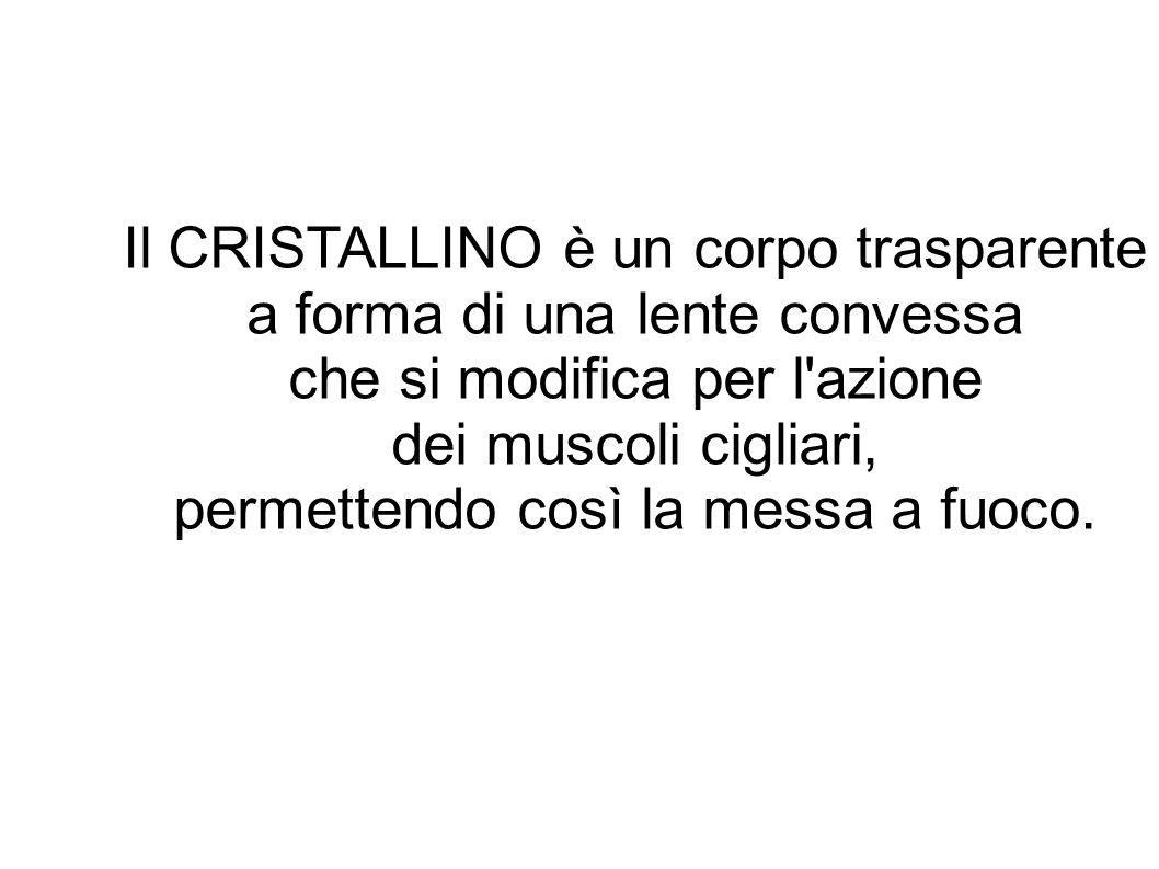 Il CRISTALLINO è un corpo trasparente a forma di una lente convessa che si modifica per l'azione dei muscoli cigliari, permettendo così la messa a fuo