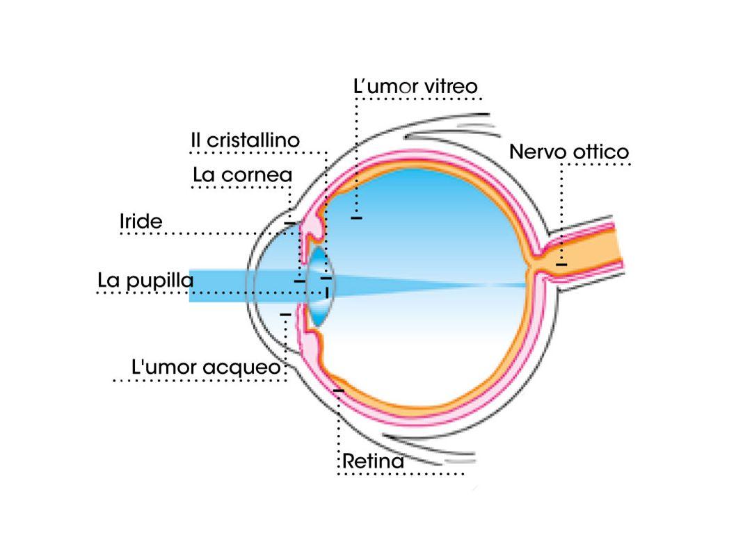 La posizione frontale degli occhi consente la visione binoculare per cui riusciamo ad avere un immagine tridimensionale (stereoscopica) perché ciascun occhio vede a modo suo.