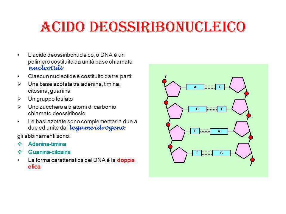 ACIDO DEOSSIRIBONUCLEICO L'acido deossiribonucleico, o DNA è un polimero costituito da unità base chiamate nucleotidi Ciascun nucleotide è costituito