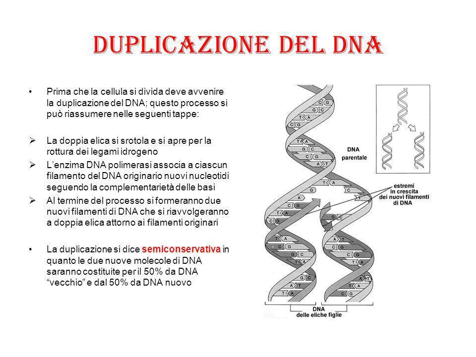 Duplicazione del DNA Prima che la cellula si divida deve avvenire la duplicazione del DNA; questo processo si può riassumere nelle seguenti tappe:  L