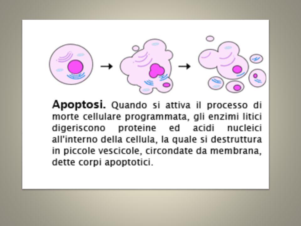La necrosi (dal greco morte), è causata da condizioni extracellulari gravemente compromesse che comportano il rigonfiamento e la conseguente rottura cellulare.
