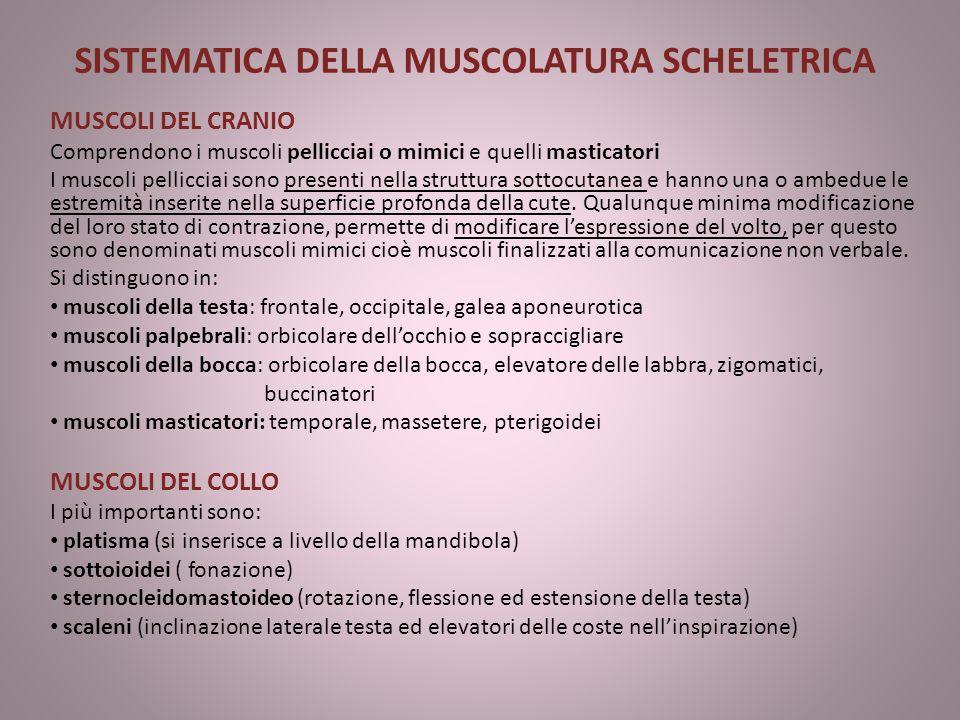SISTEMATICA DELLA MUSCOLATURA SCHELETRICA MUSCOLI DEL CRANIO Comprendono i muscoli pellicciai o mimici e quelli masticatori I muscoli pellicciai sono