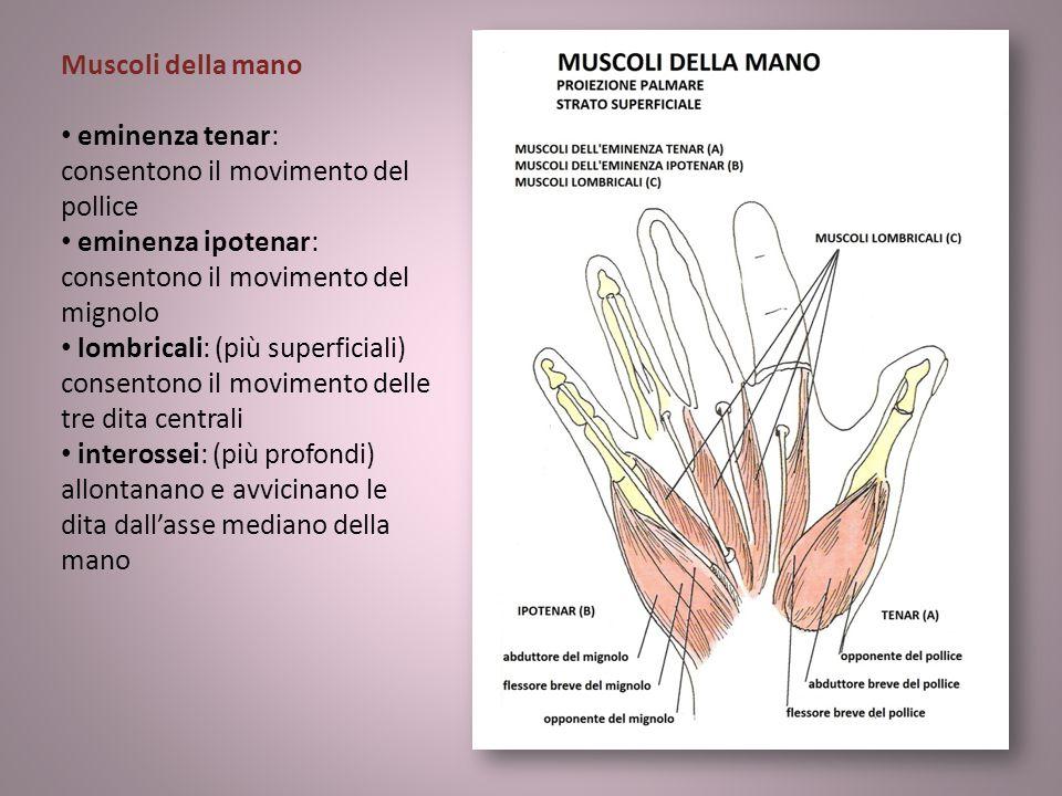 Muscoli della mano eminenza tenar: consentono il movimento del pollice eminenza ipotenar: consentono il movimento del mignolo lombricali: (più superfi
