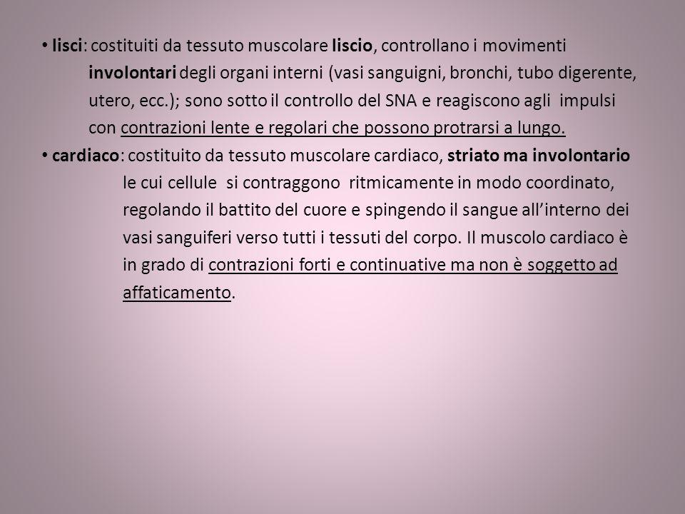 lisci: costituiti da tessuto muscolare liscio, controllano i movimenti involontari degli organi interni (vasi sanguigni, bronchi, tubo digerente, uter