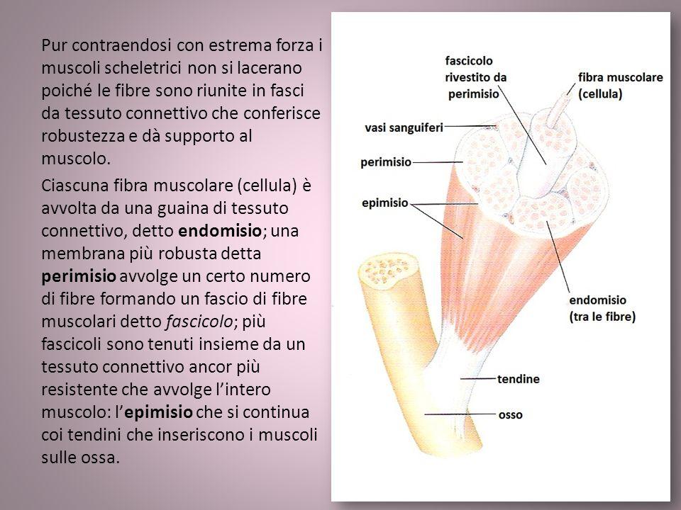 Pur contraendosi con estrema forza i muscoli scheletrici non si lacerano poiché le fibre sono riunite in fasci da tessuto connettivo che conferisce ro
