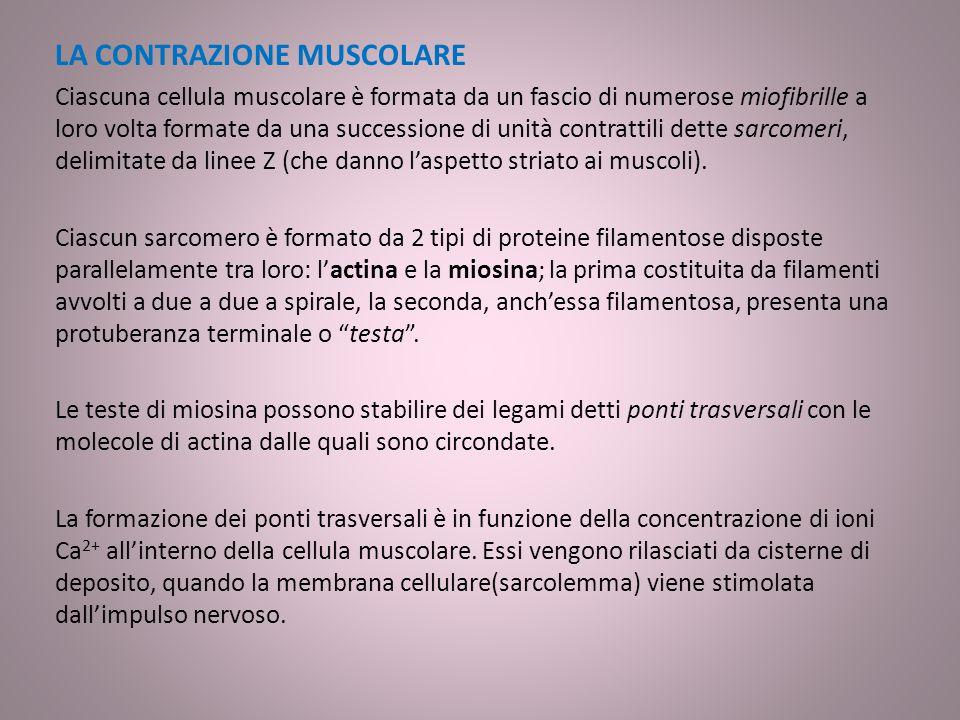 Muscoli dell'addome: I principali sono: quadrato dei lombi: ha forma rettangolare, copre la parete addominale posteriore.