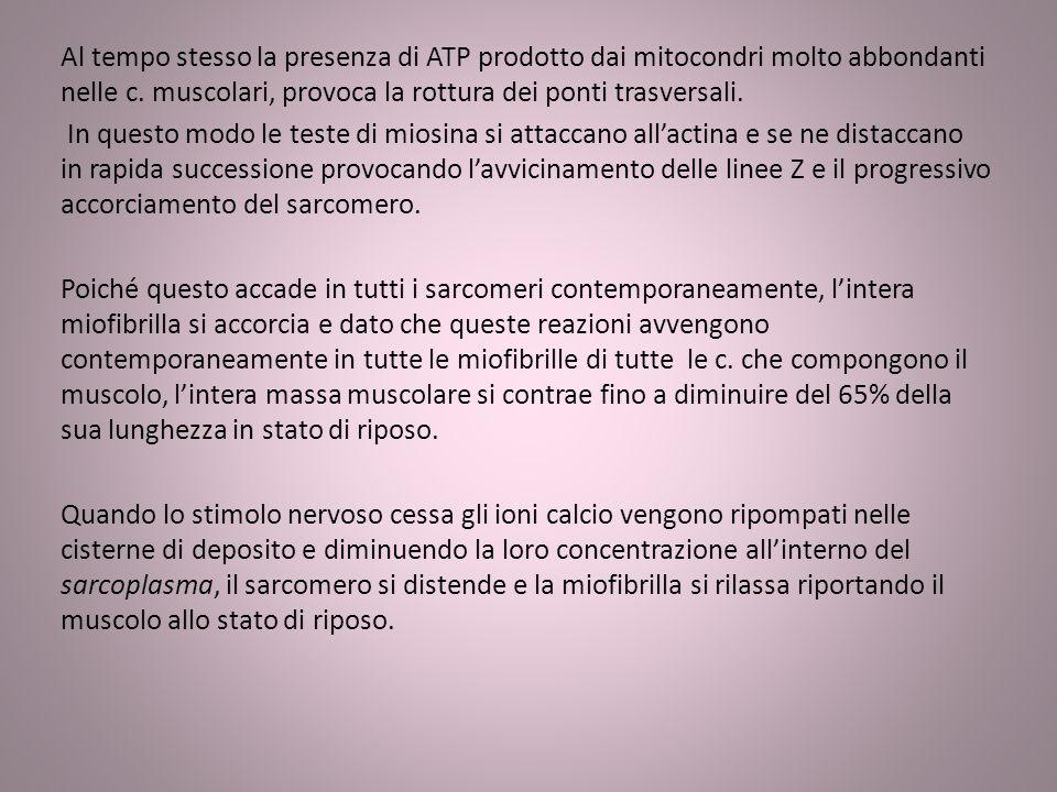 Al tempo stesso la presenza di ATP prodotto dai mitocondri molto abbondanti nelle c. muscolari, provoca la rottura dei ponti trasversali. In questo mo