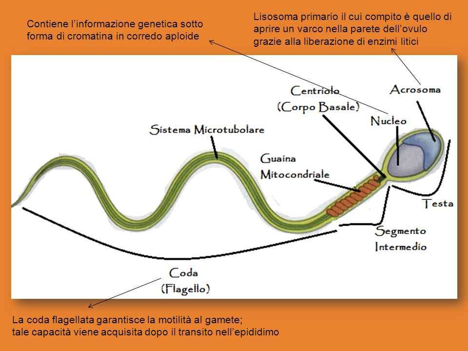 Lisosoma primario il cui compito è quello di aprire un varco nella parete dell'ovulo grazie alla liberazione di enzimi litici Contiene l'informazione genetica sotto forma di cromatina in corredo aploide La coda flagellata garantisce la motilità al gamete; tale capacità viene acquisita dopo il transito nell'epididimo