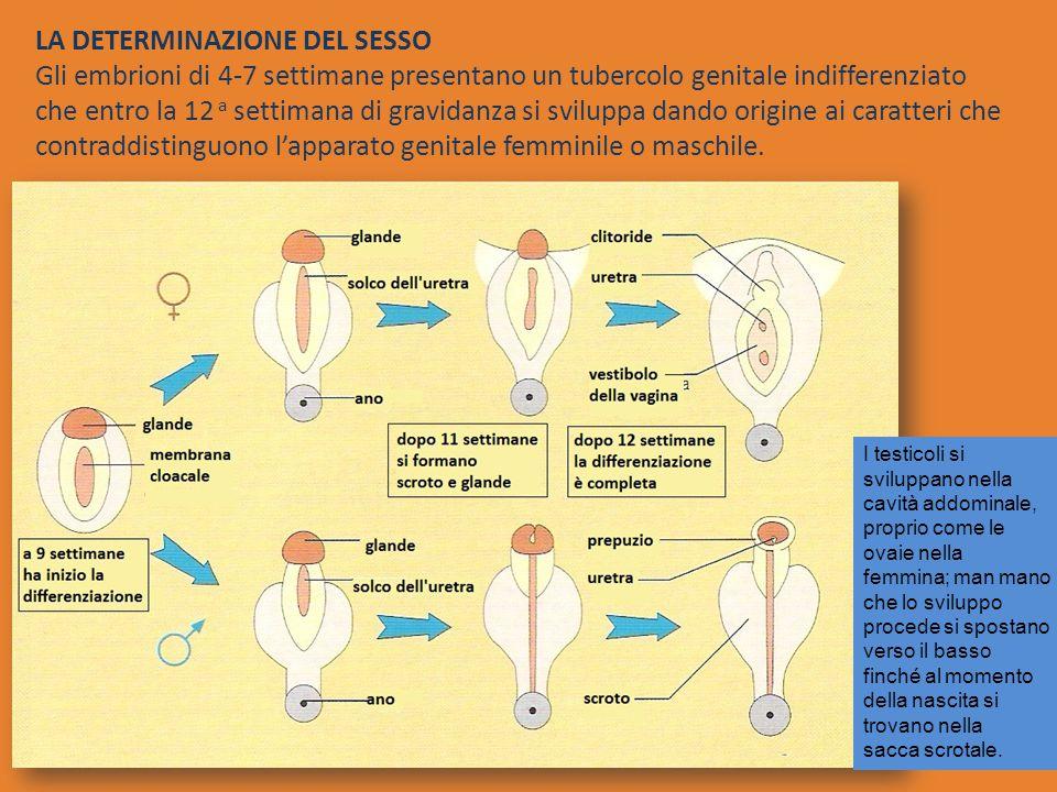 LA DETERMINAZIONE DEL SESSO Gli embrioni di 4-7 settimane presentano un tubercolo genitale indifferenziato che entro la 12 a settimana di gravidanza si sviluppa dando origine ai caratteri che contraddistinguono l'apparato genitale femminile o maschile.